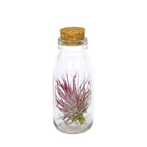 Air Plants collection - Tillandsia in a bottle with cork , small