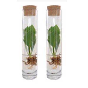 Plantdeco collection - Clusia in a tube with a cork lid