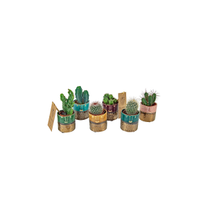 Cactus mix 6 cm in Zamora Gold FacePot