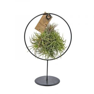 Air Plants collection  - Tillandsia boule magique support métal