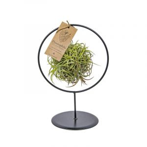Air Plants collection  - Tillandsia boule magique petit support métal
