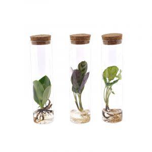 Plantdeco collection - Mix an 3 Pflanzensorten im Laborglas mit Korkverschluss