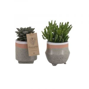 Mix de succulentes 9 cm dans un pot en céramique  Optimism, gris