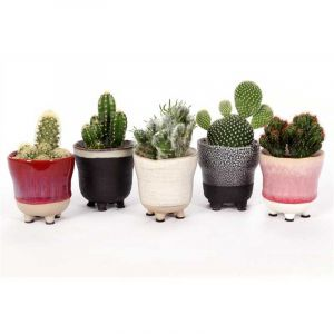 Cactus mix 5 cm in ceramic Cadiz pot