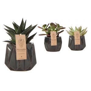 Mix Succulents 6 cm en ceramique Mark