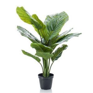 Calathea Orbifolia L , pot plastique noir