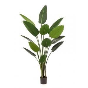 Strelitzia XXL 190 cm 13 feuilles