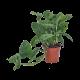 Plante Uniquement - Monstera Obliqua